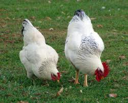 DE Chicken