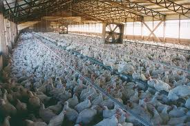 Not our idea of how chickens should be raised.